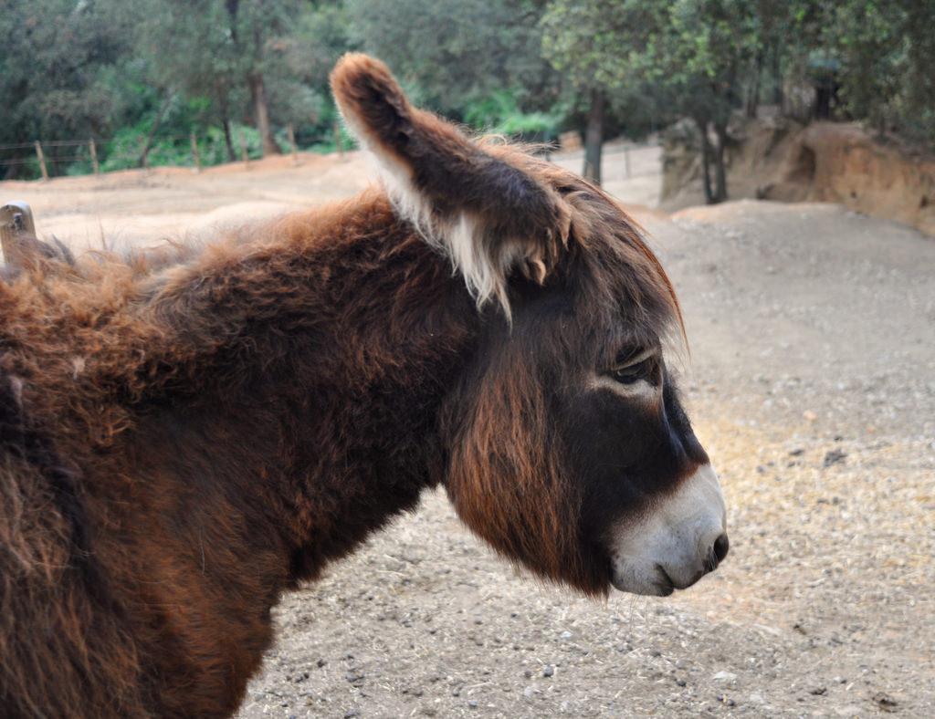 Fuives: burro catalán